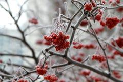 Tree in snow.Rowan. Royalty Free Stock Photos
