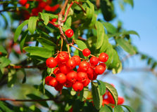 Rowan berries. The image shows some red rowan berries royalty free stock photos