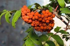 Rowan berries. Bunch of rowan ripe berries Stock Photography