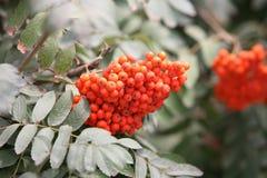 Free Rowan Berries Stock Photography - 10892672