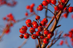 Rowan Berries. Rowan or Mountain Ash (Sorbus aucuparia) berries against the blue sky in November Royalty Free Stock Photos