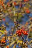 Rowan Berries Arkivfoto
