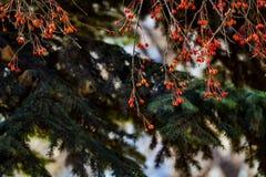 Rowan Berries foto de stock
