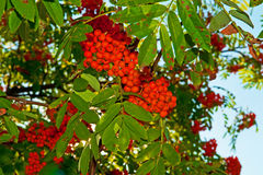Rowan berries. The rowan tree red berries Stock Photo