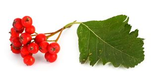 Rowan berries #2 Stock Photography