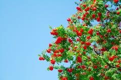 Rowan berries Stock Photography