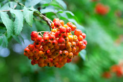 Rowan berries Royalty Free Stock Images
