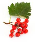 Rowan berries #3 stock images