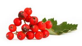 Rowan berries #4 royalty free stock photography