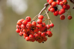 Rowan Berries Imagem de Stock Royalty Free