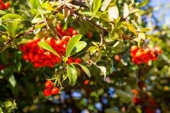 Rowan Berries Fotografía de archivo libre de regalías