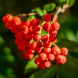 Rowan Berries Immagini Stock Libere da Diritti