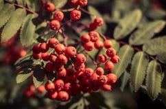 Rowan Berries Immagine Stock