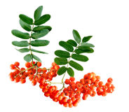 Rowan Berries Royalty Free Stock Photo