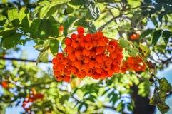 Rowan Berries stockfoto