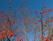 Rowan berries. Rowan trees in the fall, when all leaves have fallen off but the berries remain Royalty Free Stock Photo