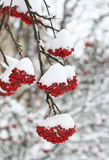Rowan berries. Covered in snow Royalty Free Stock Photography