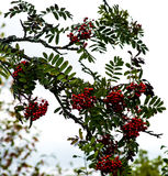 Rowan Berries Foto de Stock