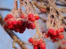 Rowan Berries Stock Foto