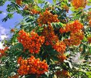 Rowan Berries photographie stock libre de droits