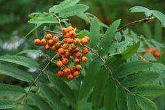 Rowan Berries arkivfoton