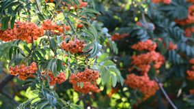 Rowan berries on abranch of a summer day stock video footage
