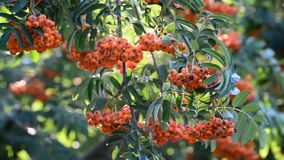 Rowan berries on abranch of a summer day stock video