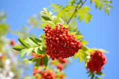 Rowan berries at Altai forest Stock Photography