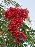 Rowan Berries (aucuparia del Sorbus) Fotografía de archivo