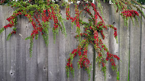 Rowan Berries, Autumn. Rowan Berries against wooden wall Stock Image