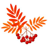 Rowan berries Royalty Free Stock Images