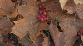 Rowan berries on autumn leaves on ground Royalty Free Stock Photos
