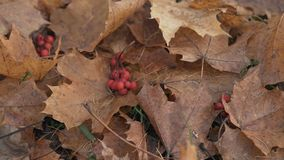 Rowan berries on autumn leaves on ground Stock Images
