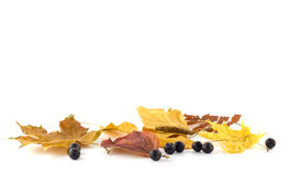 Rowan berries on the autumn leaves. On a white background Royalty Free Stock Photography