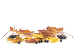 Rowan berries on the autumn leaves on a white background. Rowan berries on the autumn leaves Stock Image