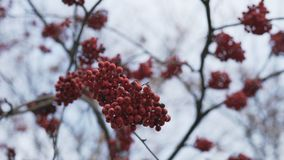 Rowan berries in autumn Royalty Free Stock Images