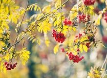 Rowan berries. Beautiful autumn photo Royalty Free Stock Photography