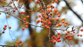 Rowan berries on a blue sky background in an autumn park. stock video