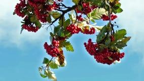 Rowan berries blue sky. slow motion rowan plan branches.red berries moving. stock footage