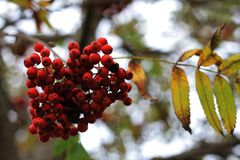Rowan berries on a blurred background of sky and branches royalty free stock image