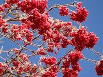 Rowan berries. On a branch stock photos