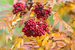 Rowan berries on a branch Stock Photos