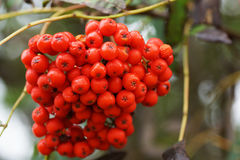 Rowan berries on a branch. Stock Photo
