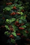 Rowan berries on branch fresh food nature health. Rowan berries on branch fresh food health life Stock Image