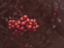 Rowan berries on the branch Royalty Free Stock Image