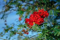 Rowan berries on a branch Stock Images