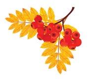Rowan berries branch. Vector illustration. Rowan berries branch. Vector illustration Stock Photos