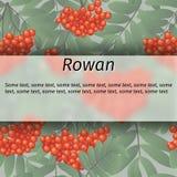 Vector rowan banner Royalty Free Stock Photos