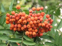 Rowan berries bunch. Bunch of rowan berries and green leaves on a tree branch in the garden stock photography