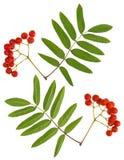 Rowan berries Stock Image
